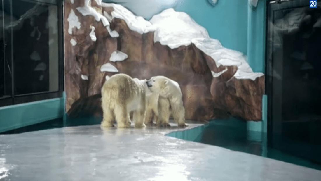 Polémica en China por inauguración de hotel que exhibe osos polares para que los huéspedes puedan verlos