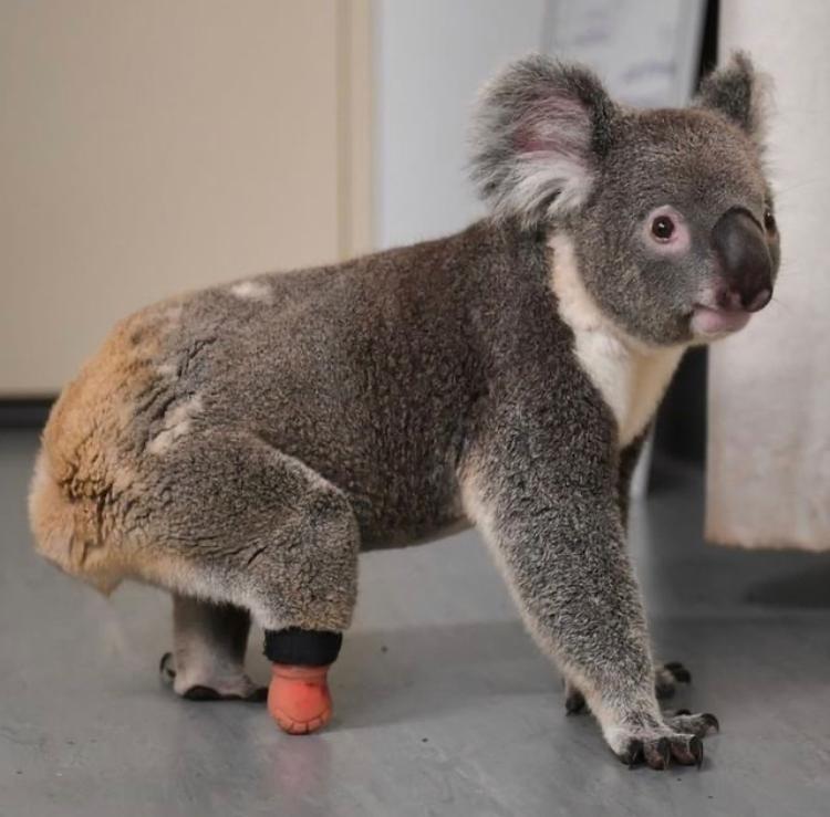 Triumph, el primer Koala en el mundo en recibir prótesis para un pie